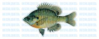 BLUEGILL  Fish Decal  window sticker car truck fishing